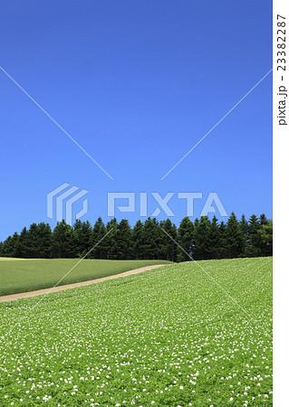 北海道 美瑛町 じゃがいも畑と針葉樹の林 23382287