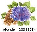 hydrangia16711pix7 23388234