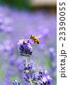 ラベンダー コモンラベンダー 蜂蜜の写真 23390055