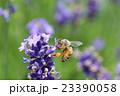 西洋蜜蜂 ラベンダー コモンラベンダーの写真 23390058