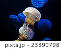 薄暗い水の中を浮遊するタコクラゲ 23390798