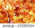紅葉 もみじ 楓の写真 23395424