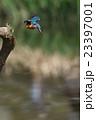 カワセミ 飛翔 小鳥の写真 23397001