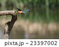 カワセミ 飛翔 小鳥の写真 23397002