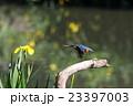 カワセミ 飛翔 小鳥の写真 23397003
