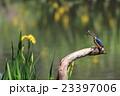 カワセミ 飛翔 小鳥の写真 23397006