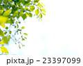 ケヤキの葉。 23397099
