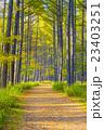 秋 林 カラマツ林の写真 23403251