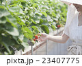 いちご農家の女性 23407775