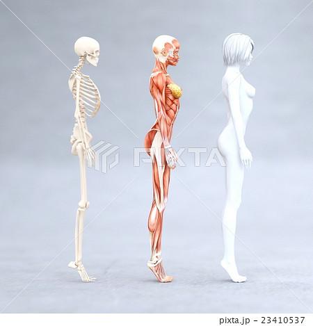 女性 解剖 筋肉 3DCG イラスト素材 23410537