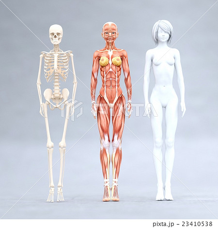 女性 解剖 筋肉 3DCG イラスト素材 23410538