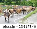 牛の行列 23417340