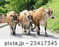 牛の行列 23417345