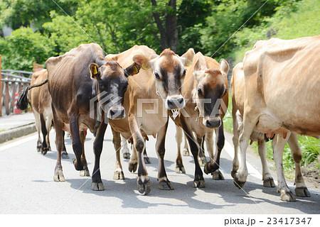 牛の行列 23417347