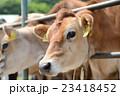 牧場の牛 23418452