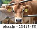牧場の牛 23418455