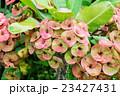 Euphorbia milii flower in a garden. 23427431