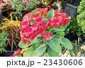 Euphorbia milii Flower in a garden. 23430606