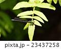 イトトンボ 昆虫 トンボの写真 23437258
