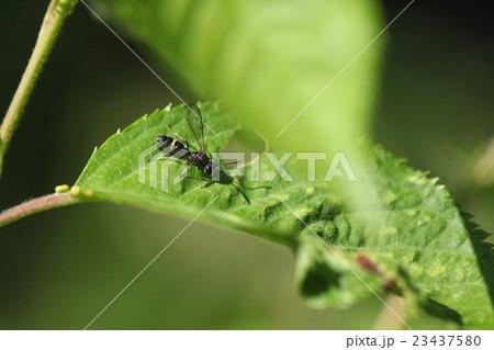 生き物 昆虫 ツチスガリ、一センチ前後のかわいい蜂ですが、子供の餌にするためコハナバチ類を狩ります 23437580