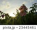 夕暮れの花 23445461