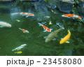 池の鯉 23458080