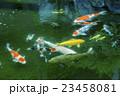 池の鯉 23458081