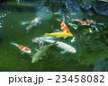 池の鯉 23458082