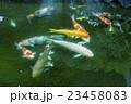 池の鯉 23458083