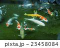 池の鯉 23458084