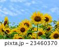 花 夏空 花畑の写真 23460370
