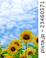 花 夏空 花畑の写真 23460371