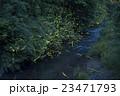 ホタル ゲンジボタル ヘイケボタルの写真 23471793