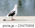 水際でたたずむ白黒の鳩 23475908
