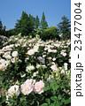 靭公園のバラ園 23477004