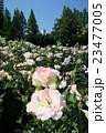 靭公園のバラ園 23477005