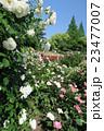 靭公園のバラ園 23477007