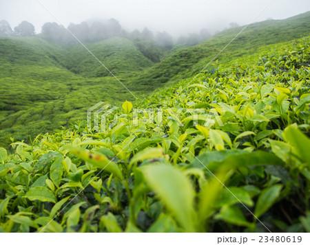Boh Tea plantation in Cameron highlands 23480619