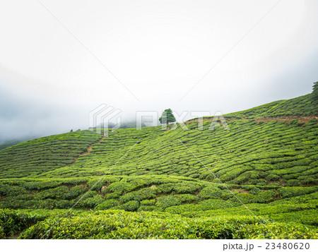 Boh Tea plantation in Cameron highlands 23480620