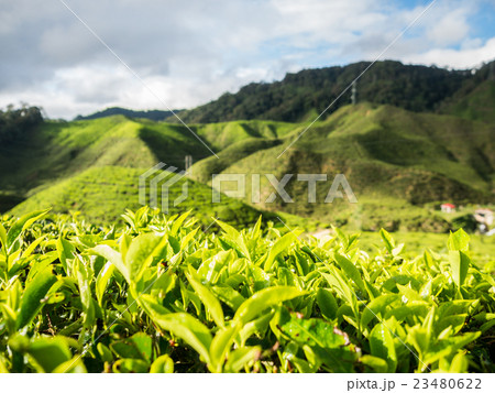 Tea plantation in the Cameron highlands 23480622