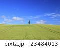麦畑 大麦畑 富良野の写真 23484013
