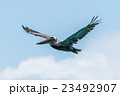 鳥 カッショクペリカン 飛ぶの写真 23492907