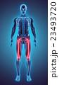大腿骨 骨 脛のイラスト 23493720