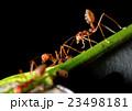 あり アリ 蟻の写真 23498181