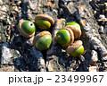 Acorns on oak bark 23499967