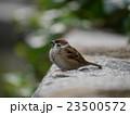 小鳥 すずめ 鳥の写真 23500572