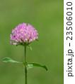 赤詰草 紫詰草 花の写真 23506010