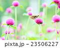 千日紅の蜜を吸うセセリ蝶 23506227