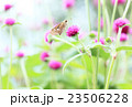 千日紅の蜜を吸うセセリ蝶 23506228