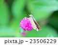 千日紅の蜜を吸うセセリ蝶 23506229